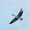 Adult in flight