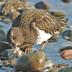 Winter plumage