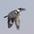 Female in flight.