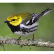 Male. Note: bright green back and bright yellow face.
