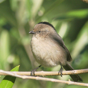 Female. Note: yellow eye.