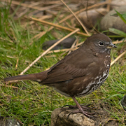 Sooty race. Note: uniform brown above, brown triangular spots on breast, and yellowish bill.
